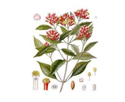 Syzygium-aromaticum-gr