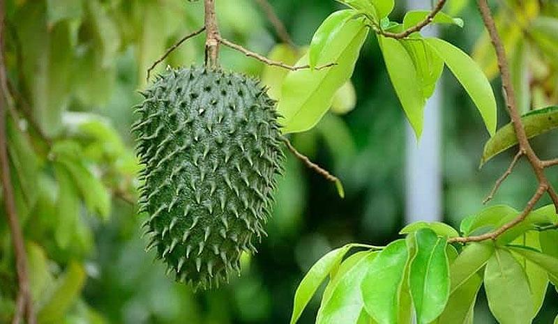 Graviola (Annona muricata L.)