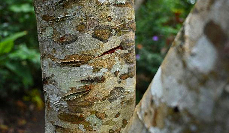 Drachenblut (Croton lechleri)