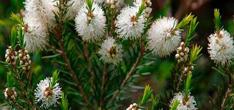 Árbol de té y sus propiedades para combatir los piojos