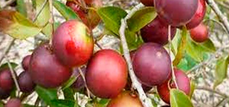 Camu camu, one of the most important sources of vitamin C