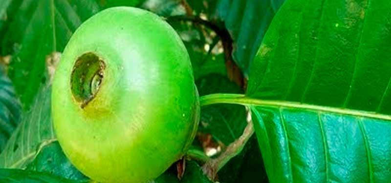 El borojó es un fruto tropical cultivado principalmente en el Pacífico colombiano, y se le atribuye un sinnúmero de beneficios para la salud. Es conocida en Sudamérica por su aporte energético y su capacidad nutricional